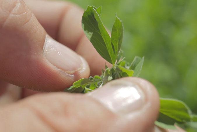 003-alfalfa-de-la-patagonia-nafosa